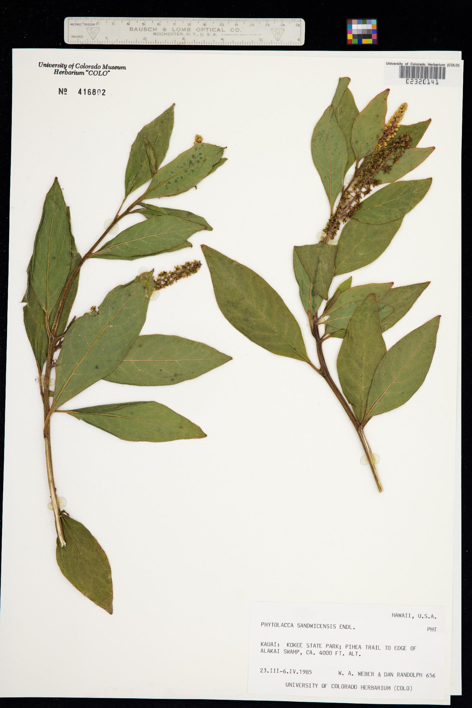 Phytolacca sandwicensis image