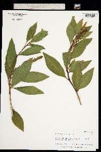 Image of Phytolacca sandwicensis