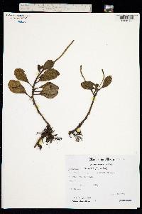 Image of Peperomia obtusifolia