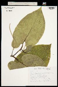 Image of Piper auritum
