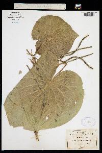 Image of Piper umbellatum