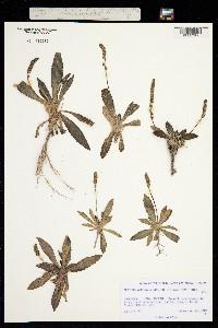 Plantago australis image
