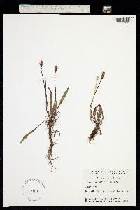 Plantago canescens image