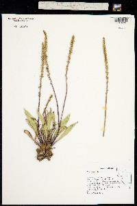 Plantago eriopoda image