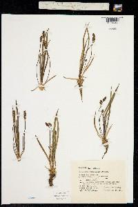Plantago juncoides image