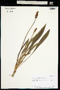 Plantago macrocarpa image