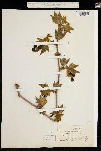 Image of Platanus racemosa