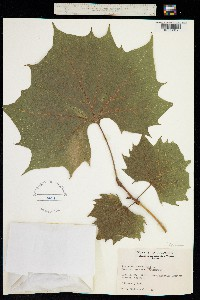Image of Platanus occidentalis