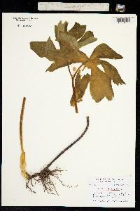 Podophyllum peltatum image