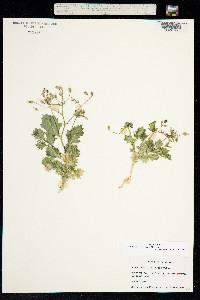 Image of Aliciella latifolia