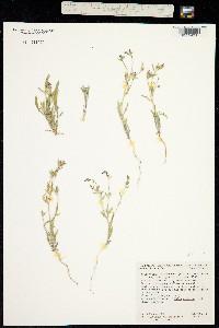 Image of Allophyllum divaricatum