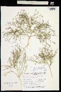 Image of Aliciella nyensis