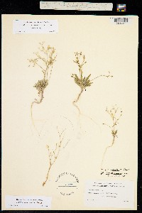 Aliciella monoensis image