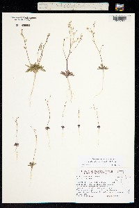 Aliciella leptomeria image