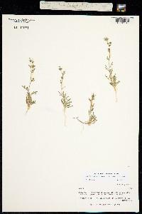 Image of Allophyllum gilioides