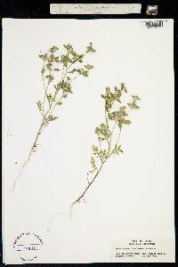 Image of Collomia heterophylla