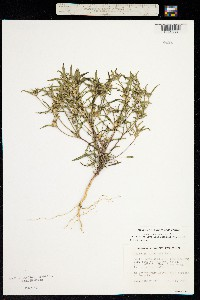 Image of Collomia tinctoria