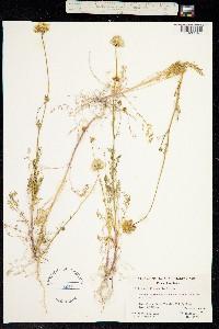 Image of Gilia achilleifolia
