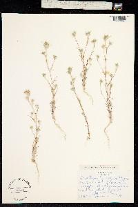 Image of Eriastrum brandegeeae