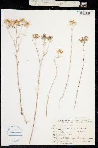 Image of Eriastrum pluriflorum