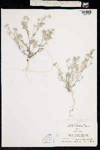 Image of Eriastrum wilcoxii