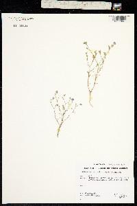 Image of Eriastrum sapphirinum