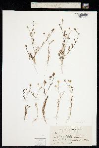 Image of Gilia clivorum