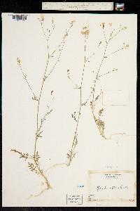 Image of Gilia caruifolia