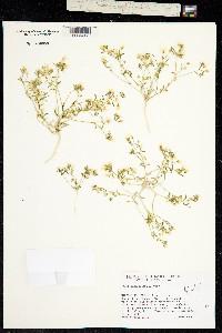 Image of Linanthus campanulatus