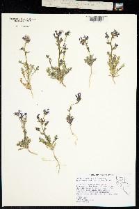 Image of Gilia brecciarum