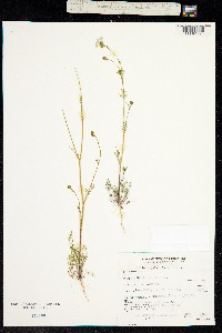 Image of Gilia angelensis
