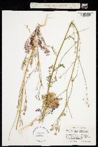 Image of Gilia splendens