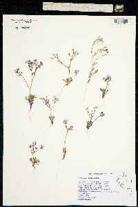 Image of Gilia salticola