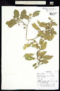 Image of Physalis walteri