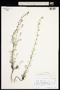 Image of Ipomopsis pinnata