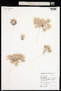Image of Langloisia setosissima
