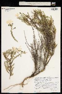Image of Leptodactylon californicum