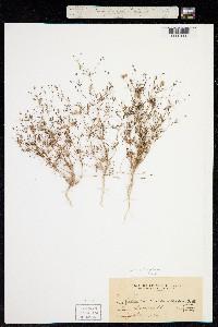 Image of Gilia pharnaceoides