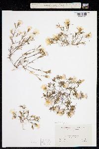 Image of Linanthus dianthiflorus