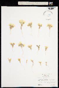 Image of Linanthus parryae