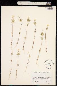 Image of Leptosiphon montanus
