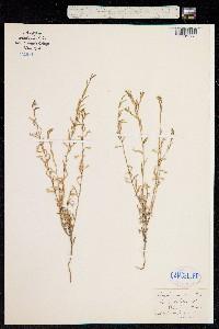 Loeselia caerulea image