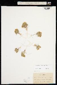 Image of Langloisia matthewsii