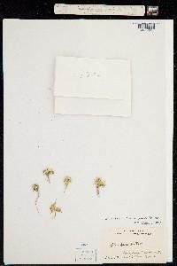 Image of Navarretia leucocephala