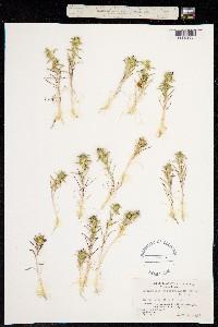 Image of Navarretia atractyloides