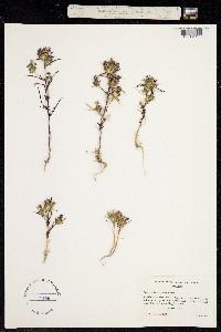 Image of Navarretia viscidula