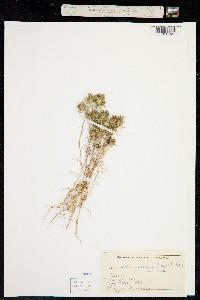 Image of Navarretia pubescens