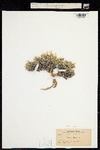 Image of Phlox alyssifolia