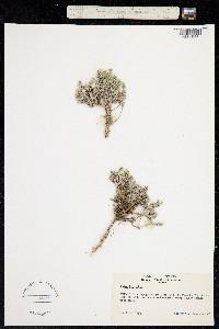 Phlox bryoides image