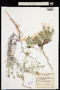 Phlox longifolia ssp. brevifolia image